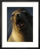Portrait of a Galapagos Sea Lion with Open Mouth and Lots of Whiskers