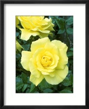 Rosa Golden Showers (Climbing Rose)  Yellow Flower