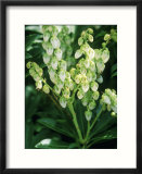 Pieris Japonica  Debutante (Lily of the Valley Shrub)  Small White Flowers on Green Stems