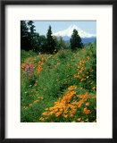 Poppies on Hillside with Mount Hood Near Hood River  Oregon