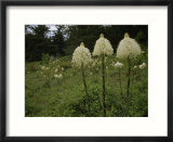 Bear Grass Flowers  Mount Hood National Forest  Oregon