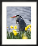 Grey Heron in Daffodils  London  UK