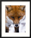 Red Fox  Portrait of Face  Lancashire  UK