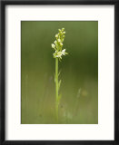 Lesser Butterfly Orchid in Grassland  Oxfordshire  UK