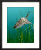 Cuttlefish  Mounts Bay  UK