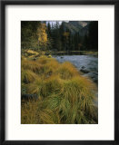 Grasses Along Merced River in Autumn in Yosemite National Park  California