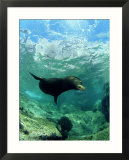 Californian Sea Lion  Sea of Cortez  Mexico
