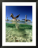 Brown Pelican  Fishing  Mexico