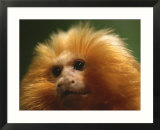 A portrait of a golden lion tamarin