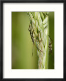 Meadow Plant Bug  Feeding on Grass Seed Head  Middlesex  UK
