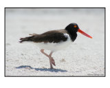 B-3 (American Oyster Catcher)