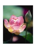 Awakening Pink Lotus