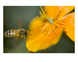 Honey Bee Flying By California Poppy Flower Orange