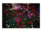 Blushing Petunia Mix