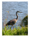 A Heron