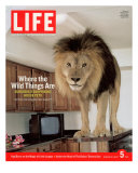 14-year-old Sinbad the Lion Standing on Counter in Owner's Las Vegas Kitchen  August 5  2005