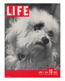 Glamor Dog Pooch  Mixed Breed of Maltese Poodle and Wire-haired Terrier  April 3  1944