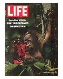 Vanishing Wildlife: The Threatened Orangutan  March 28  1969