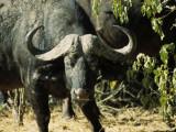 Angry Buffalo of Botswana's Chobe National Park Warns to Stay Back
