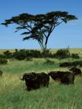 Masai Mara Male and Female Cape Buffalo Look on under an Acacia Tree