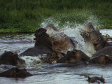 Fighting Hippos Thrash the Water During a Confrontation in a Water Hole  Serengeti National Park