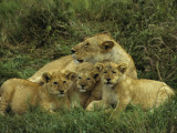 Young Lion Cubs Lying Close to their Mother in the Serengeti National Park of Tanzania