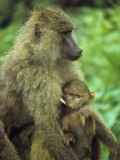 Suckling Baby Baboon Pulls Hard on His Nursing Mother's Nipple