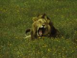 Yawning Male Lion Amongst Yellow Flowers in the Ngorongoro Crater  Tanzania