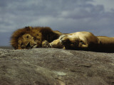Lions Soaking Up Sun on a Large Rock Amongst the Building Migration of Wildebeest  Serengeti