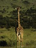 Masai Mara Giraffe Against the Beautiful Rolling Hills of Masai Mara National Park