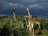 Storm Quickly Approaches a Grazing Herd of Masai Mara Giraffe