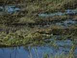 Camouflaged Crocodile of Chobe National Park Resting in the Grass Along the Chobe River