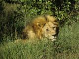 Awaking Male Lion of Masai Mara National Park  Kenya  Africa