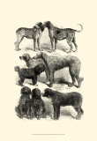 International Show Dogs I  c1863