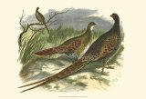 Semmering Pheasant