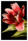 Red Tulip III
