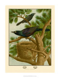 Purple Grackle