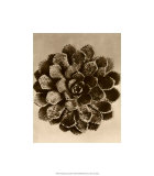 Sepia Botany Study II