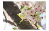 Japanese Cherry Blossom  Sakura I