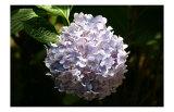 Japanese Summer Hydrangea