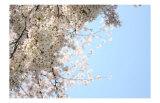 Japanese Cherry Blossom  Sakura III