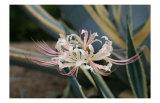 Pink Cluster Amaryllis  Manjushaka