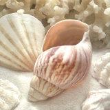 Coral Shell II Reproduction d'art par Donna Geissler