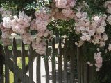Beautiful Blooming Pink Roses Growing over Wooden Fence
