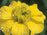 Close-Up of Droplets of Dew on Blossoming Yellow Flower in Nature