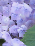 Close-Up of Delicate Purple Hydrangea Blossoms in Nature