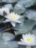 Selective Focus of Water Lilies Floating on Pond