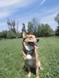 Obedient German Shepherd Dog Panting and Sitting in Grassy Green Field