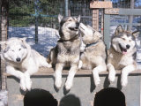 Husky Dogs Resting in Kennel in Winter