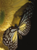 Close-Up of a Monarch Butterfly on a Yellow Asteraceae Flower